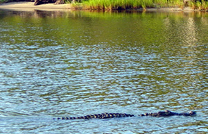 Gator at Barge Canal